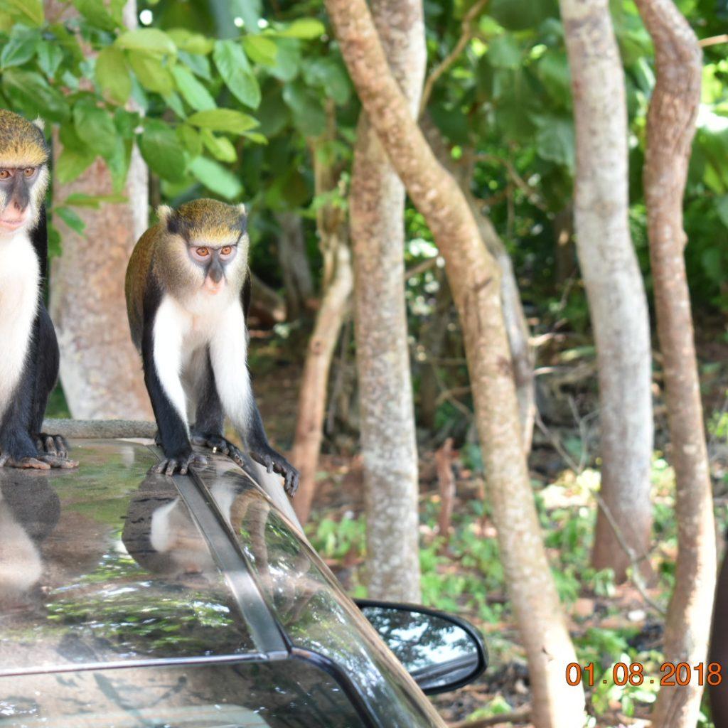 Boabeng Fiema Monkey sanctuary-grassroottours.com